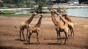 长颈鹿在徒步旅行队公园 股票视频