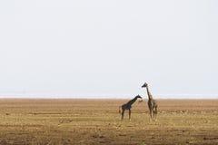 长颈鹿在曼雅拉湖 免版税库存照片