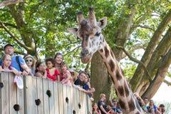 长颈鹿在有公众的一个动物园里 免版税库存图片
