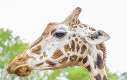 长颈鹿在有看长的脖子的动物园里下来 免版税库存照片