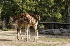 长颈鹿在柏林动物园里 免版税图库摄影