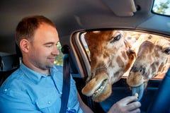 长颈鹿在汽车和等待的食物投入了头从游人 库存图片