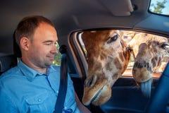 长颈鹿在汽车和等待的食物投入了头从游人 免版税库存图片