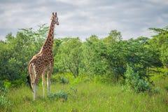 长颈鹿在纳库鲁国家公园(肯尼亚) 库存照片