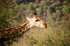 长颈鹿在纳米比亚 库存图片