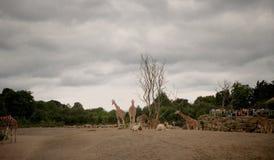 长颈鹿在肯尼亚山国家公园 免版税库存图片