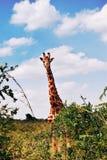 长颈鹿在肯尼亚的国家公园 免版税库存照片