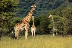 长颈鹿在自然生态环境 图库摄影