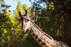 长颈鹿在非洲被找到 免版税库存照片