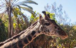 长颈鹿在非洲被找到 库存图片