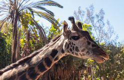 长颈鹿在非洲被找到 库存照片