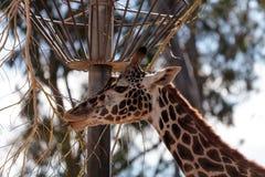 长颈鹿在非洲被找到 图库摄影