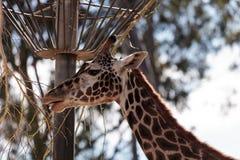 长颈鹿在非洲被找到 免版税图库摄影