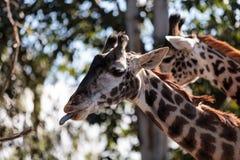 长颈鹿在非洲被找到 免版税库存图片