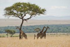长颈鹿在马塞人玛拉,肯尼亚的一棵树下 图库摄影