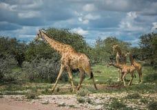 长颈鹿在Etosha国家公园,纳米比亚 免版税库存照片
