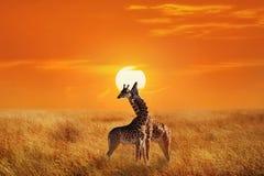 长颈鹿在Serengeti国家公园 闹事 坦桑尼亚 星期日 库存照片