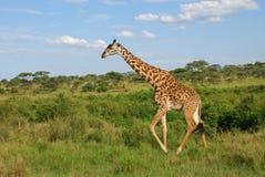 长颈鹿坦桑尼亚 图库摄影