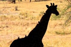 长颈鹿外形 免版税库存图片