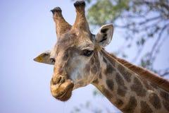 长颈鹿头在全国动物园里 图库摄影