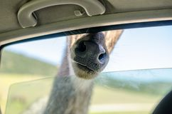 长颈鹿头在徒步旅行队的一个车窗外 免版税库存照片