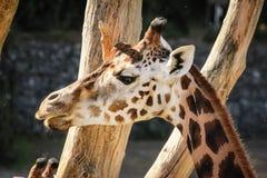 长颈鹿头 都伯林动物园 爱尔兰 免版税图库摄影