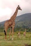 长颈鹿她的小妈妈保护的一个 库存图片