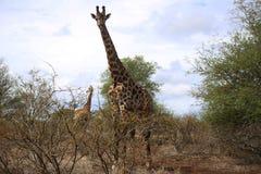 长颈鹿家庭在克留格尔国家公园 免版税库存照片
