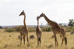 长颈鹿家庭在南非 免版税库存照片