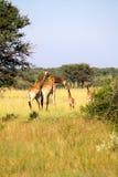 长颈鹿家庭在博茨瓦纳 免版税库存照片