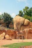 长颈鹿家庭在biopark的 西班牙巴伦西亚 免版税库存图片