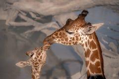 长颈鹿家庭爱  免版税库存照片