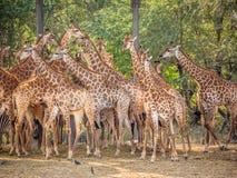 长颈鹿家庭 免版税库存照片