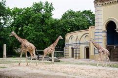 长颈鹿封入物在柏林动物园里 库存图片