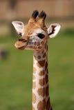 长颈鹿小狗 库存照片