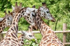 长颈鹿小组长颈鹿Camelopardalis特写镜头画象有绿色模糊的背景 库存照片