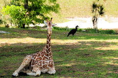 长颈鹿年轻人 库存照片