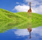 长颈鹿年轻人 免版税库存图片