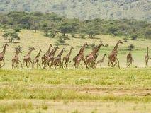 长颈鹿惊逃 免版税库存照片