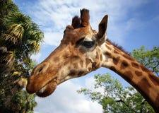 长颈鹿我 库存照片