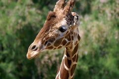 长颈鹿扭转了他的脖子并且看我们 免版税图库摄影