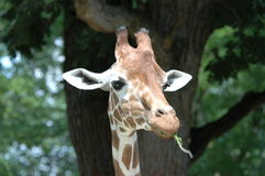 长颈鹿抽烟 库存照片