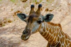 长颈鹿接近的画象 免版税库存图片