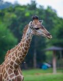 长颈鹿接近的画象 免版税库存照片