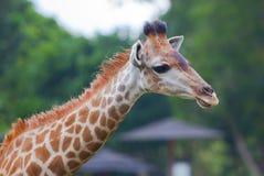 长颈鹿接近的画象 库存照片