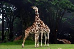 长颈鹿搂颈亲热 图库摄影