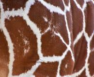 长颈鹿斑点 库存图片
