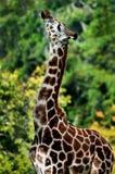 长颈鹿旁边外形 图库摄影