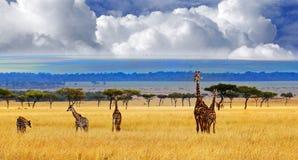 长颈鹿旅途在开放平原的在Msai玛拉 图库摄影