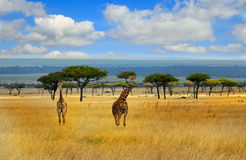 长颈鹿旅途在开放平原的在Msai玛拉 免版税库存照片